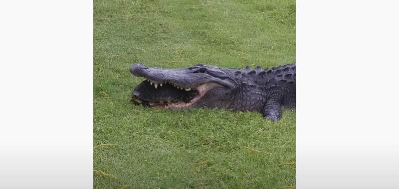 Alligatore prova a mangiare una tartaruga e fa il giro del web