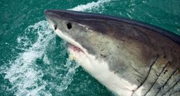 Coronavirus vaccino uccidera mezzo milione di squali