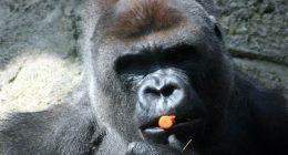 Gorilla rompe le braccia ad addetto allo zoo