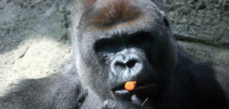 Gorilla rompe le braccia all'addetto allo zoo