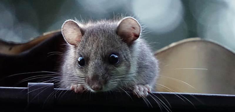Morde le parti basse del marito stufa di un topo in camera