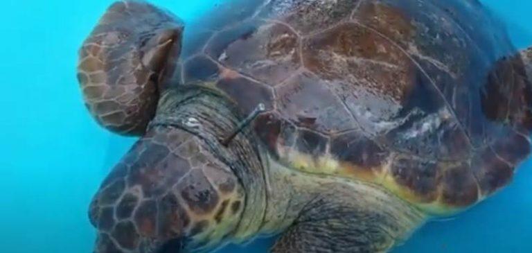 Tartaruga marina colpita da una fiocina, indignazione del web