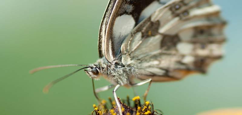Chernobyl, ritrovata farfalla mutata geneticamente