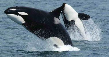 Mistero Orche attaccano imbarcazioni al largo della Spagna