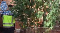 Spagna Arrestati con una pianta di cannabis di 5 metri