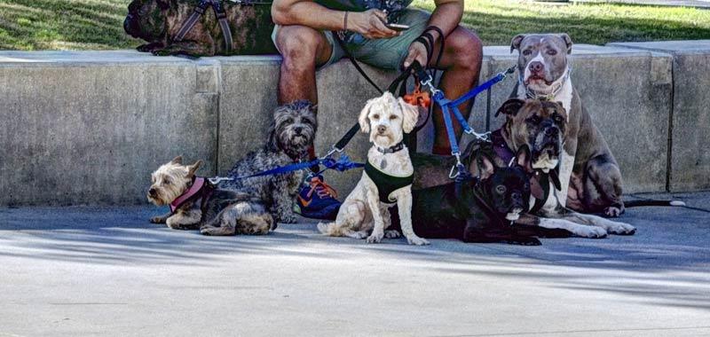 Studio legale offre 30mila euro per portare a spasso il cane