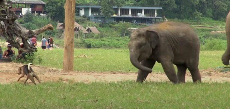 Elefante gioca con un cane, il video diventa virale