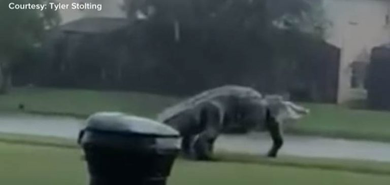Enorme alligatore filmato su un campo da golf