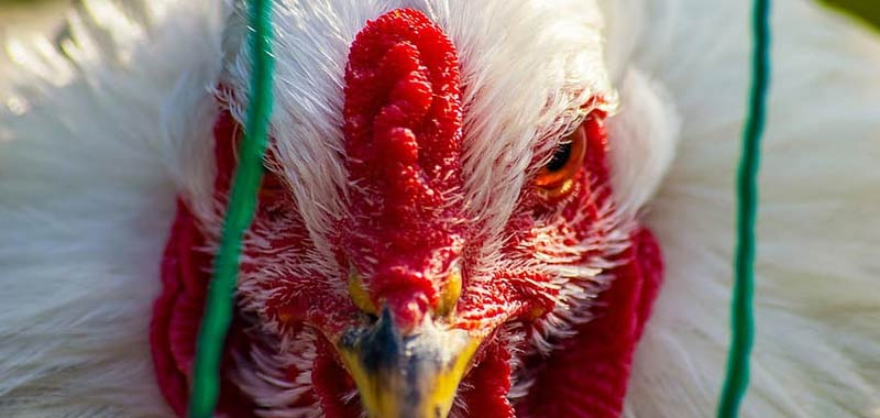 Epidemia influenza aviaria registrata in Giappone