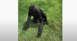 Gorilla si prende cura di un uccellino