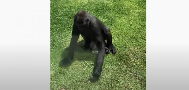 Gorilla si prende cura di un uccellino, il video virale
