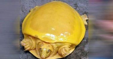 Incredibili tartarughe gialle sono state trovate in Nepal