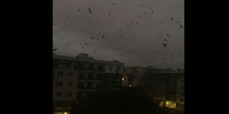 Apocalisse: Stormi di corvi sui cieli del Canada da 14 ore
