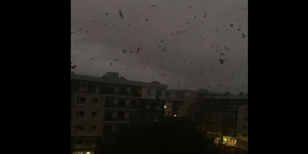 Apocalisse Stormi di corvi sui cieli del Canada da 14 ore