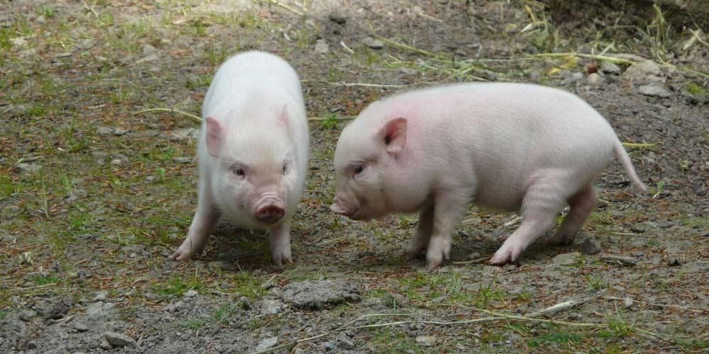 Pronti a trapiantare organi di maiali di esseri umani