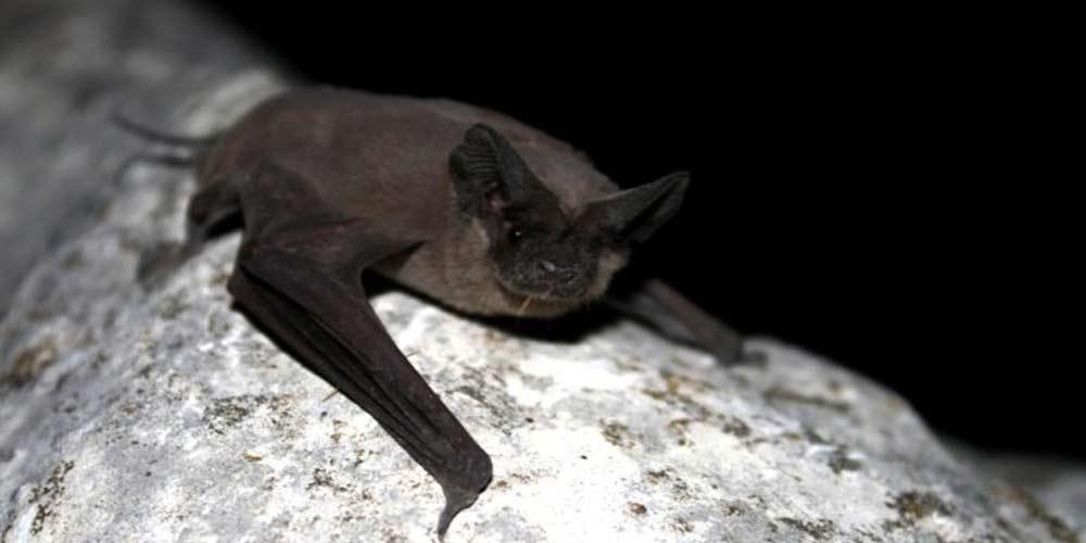 Scienziati Wuhan ammettono Siamo stati morsi da pipistrelli infetti
