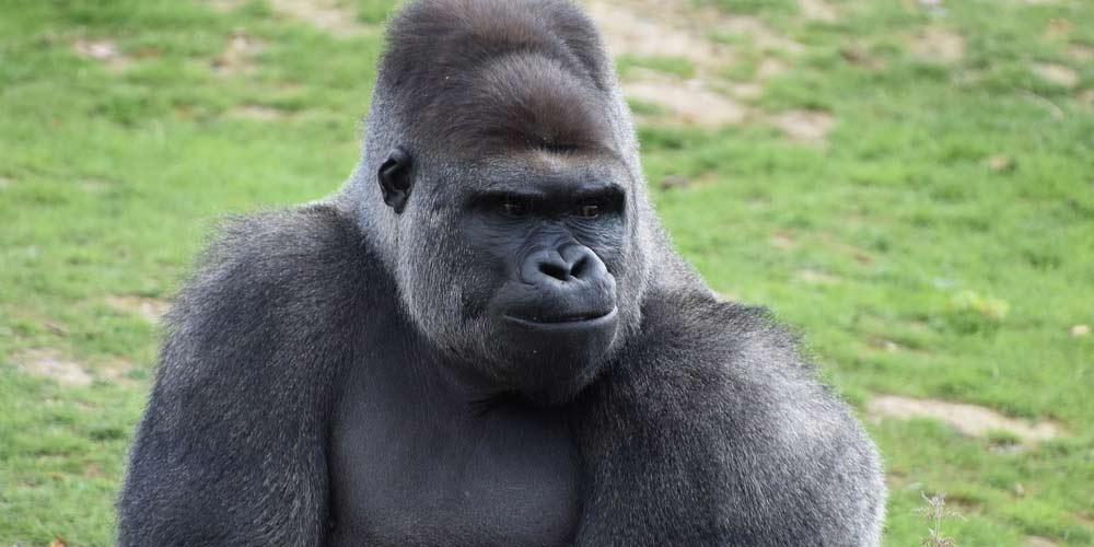 Segnalato primo Gorilla infetto da coronavirus