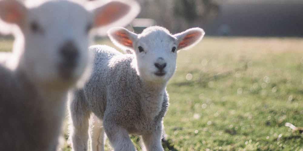 Influencer vegano Da sempre si consuma un olocausto animale