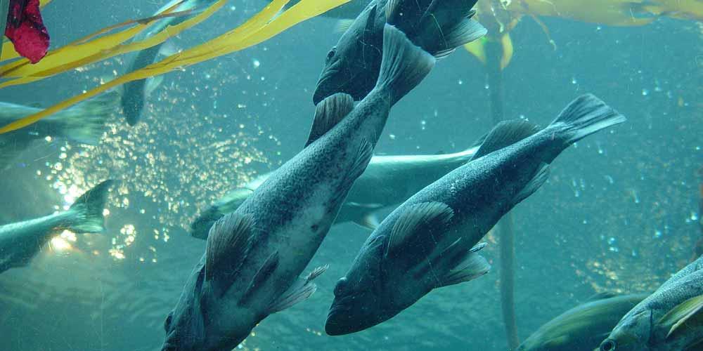 Drone cattura incredibili immagini di un gruppo di salmoni
