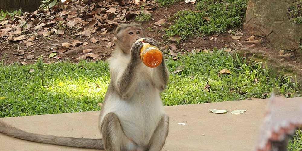 India Arrestati istruivano scimmie a derubare i passant
