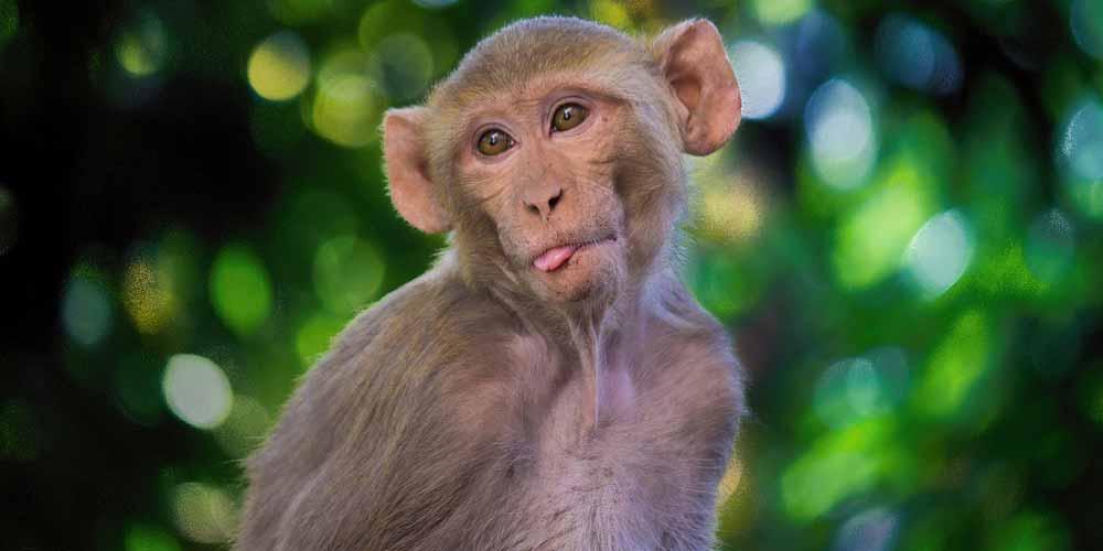 Sviluppata la prima specie ibrida Ecco la scimmia umana