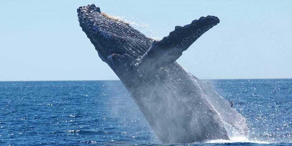 Inghiottito da una balena riesce a salvarsi