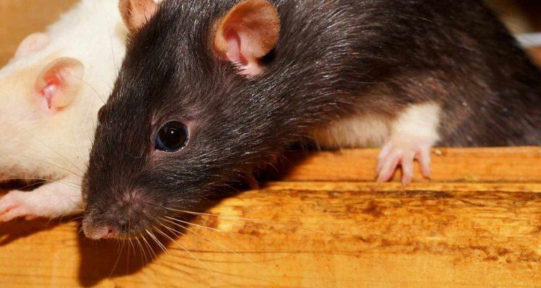 Australia: Torna la piaga dei topi