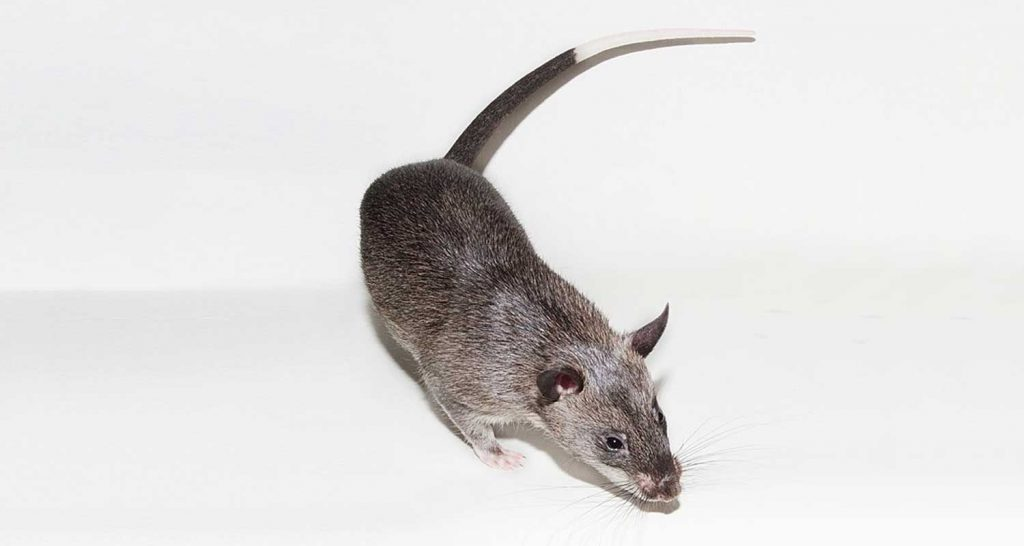 Topi grossi come gatti invadono l'Inghilterra